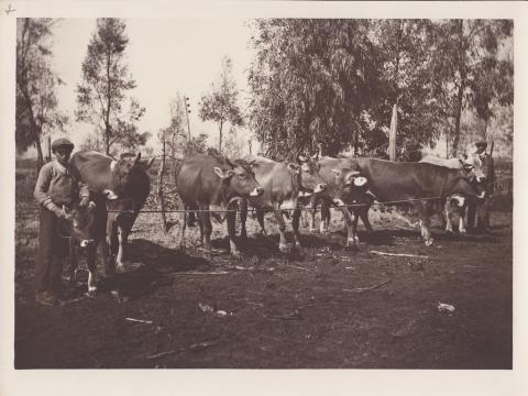 Gruppo di vacche brune - Archivio di Stato di Oristano prot. 732 del 21-07-2016